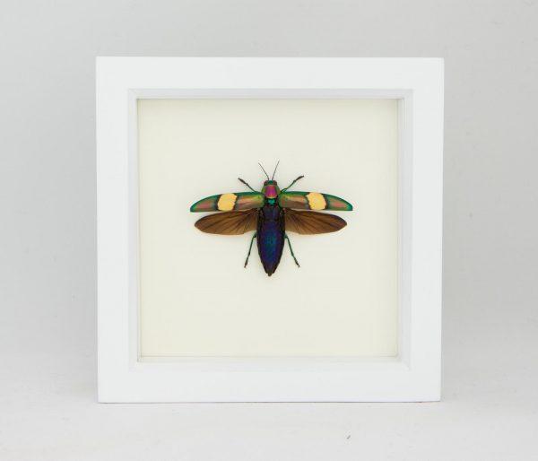 framed metallic jewel beetle