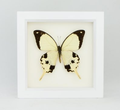 Framed Mocker Swallowtail (Papilio dardanus)