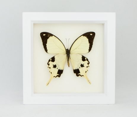 white frame mocker butterfly