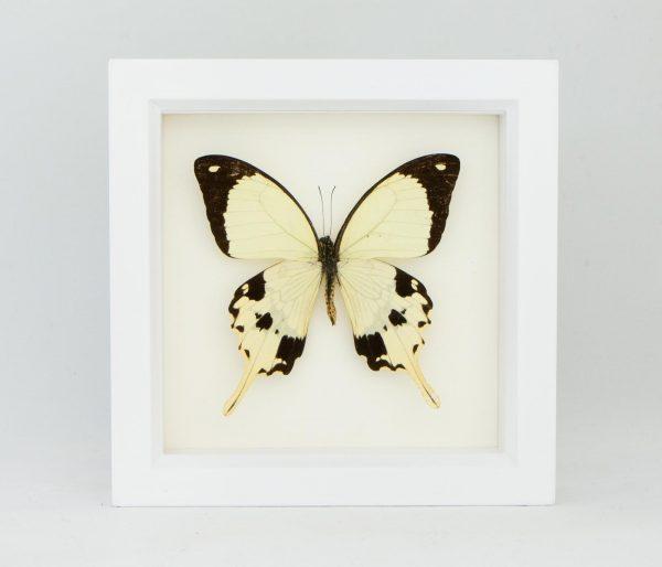 white frame mocker butterfly
