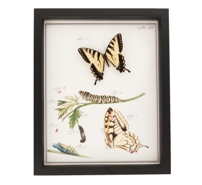 Tiger Swallowtail Life Cycle Framed