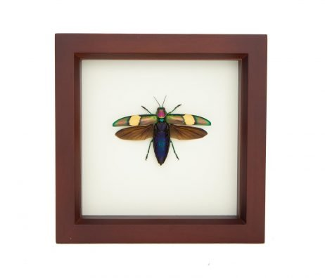 framed wood boring beetle