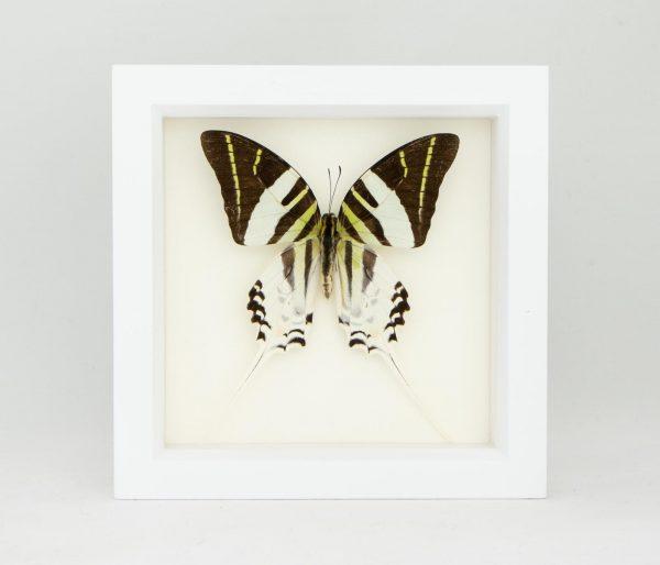 giant swordtail butterfly