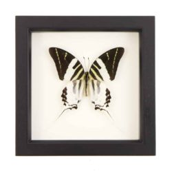 Real Butterfly Art Graphium androcles