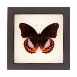hypolimnas pandarus butterfly