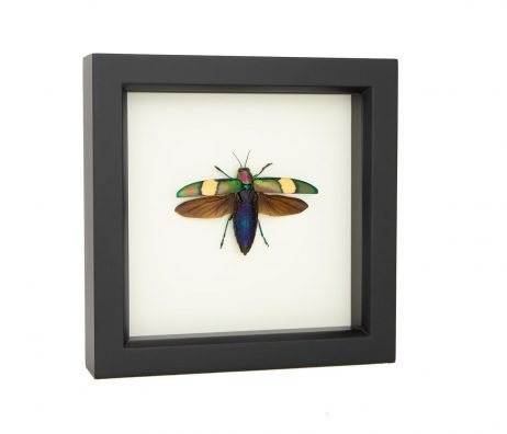 jewel beetle specimen