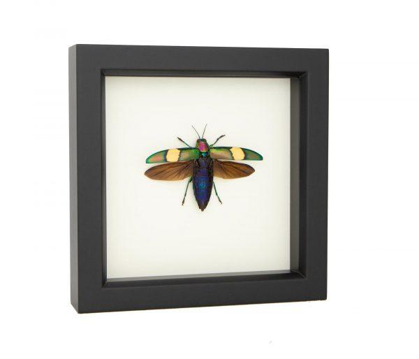 jewel beetle specimen