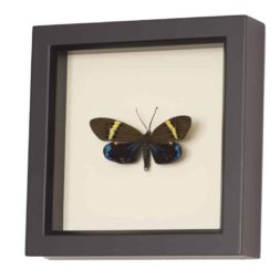 framed moth Eterusia replete display