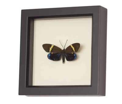 framed moth Eterusia replete display