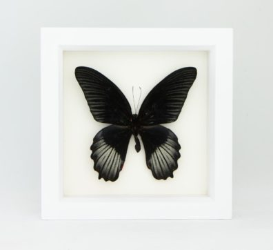 Framed Scarlet Mormon Butterfly (Papilio rumanzovia)