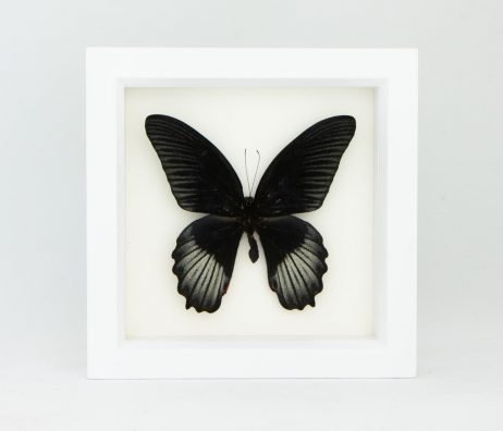 papilio rumanzovia for sale
