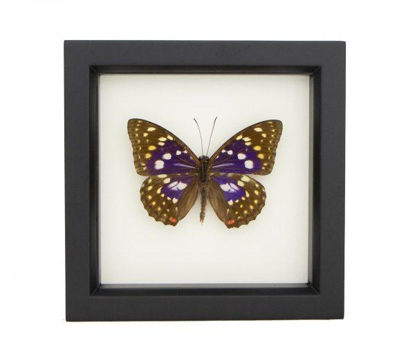 framed Japanese emperor butterfly