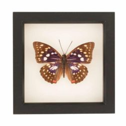 Japanese emperor framed butterfly