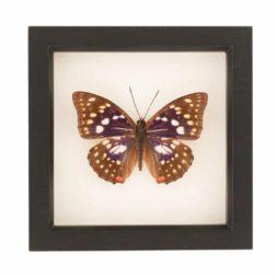 Japanese emperor framed butterfly