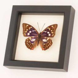 sasakia charonda butterfly specimen