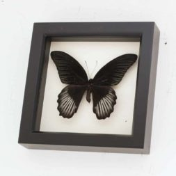 framed black butterfly