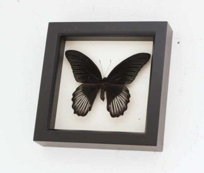 framed black butterfly