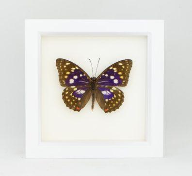Framed Japanese Emperor Butterfly (Sasakia charonda)