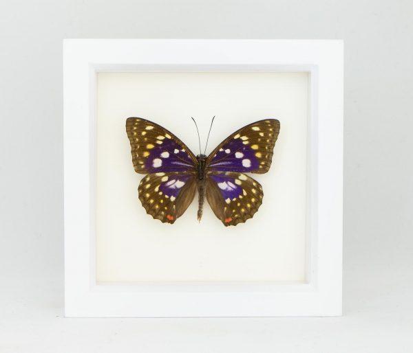 sasakia charonda butterfly