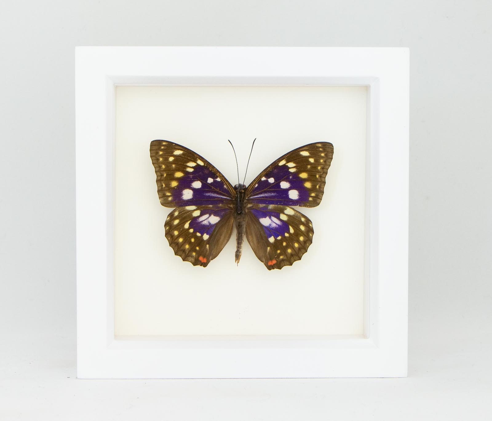 Lot of 10 Great Purple Emperor Butterfly Sasakia charonda coreana Folded FAST US