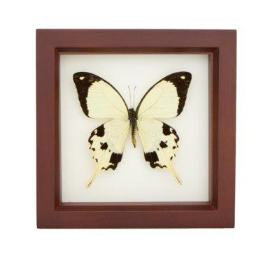 Framed Mocker Swallowtail (Papilio dardanus)