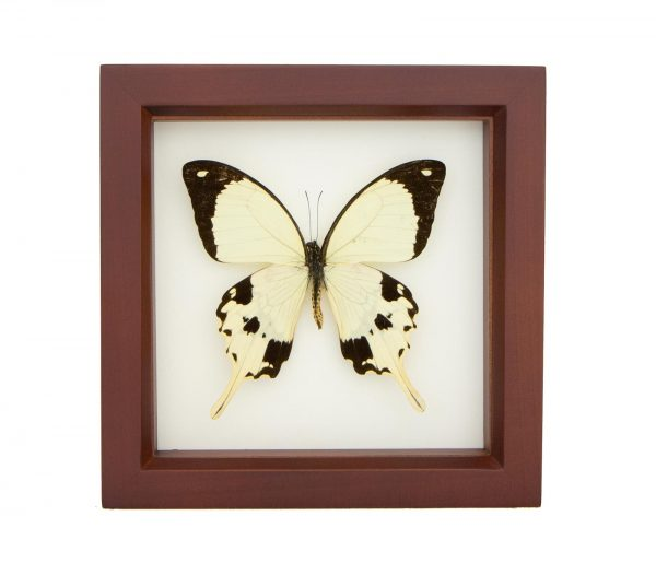 yellow african butterfly preserved