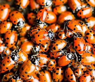 lady bug aggregation