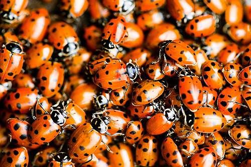 lady bug aggregation