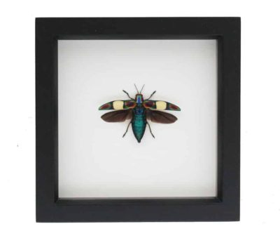 jewel beetle for sale
