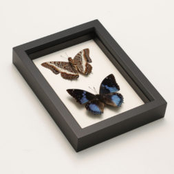 african butterfly collection