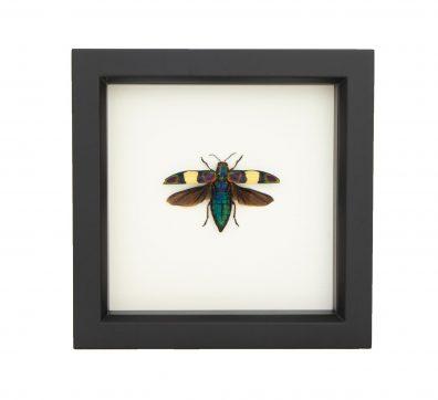 Framed Fulgens Jewel Beetle
