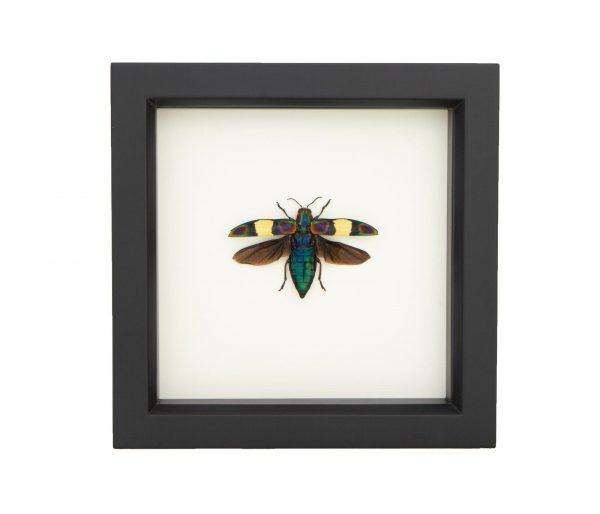 framed Chrysochroa fulgens