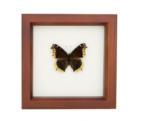 framed Nymphalis antiopa taxidermy