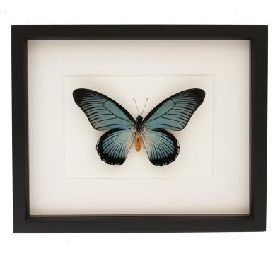 Framed Giant African Swallowtail (Papilio zalmoxis)