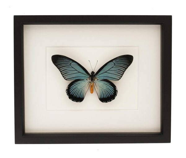 framed african papilio zalmoxis