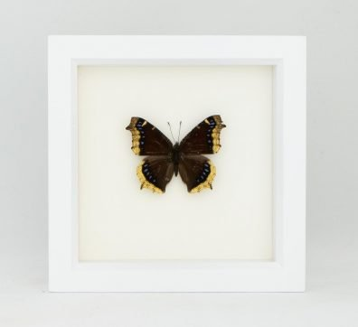Framed Mourning Cloak Butterfly (Nymphalis antiopa)