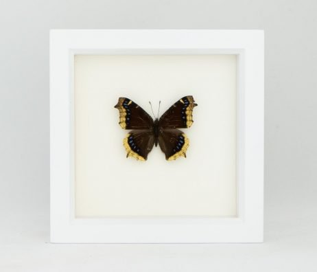 framed american butterfly for sale