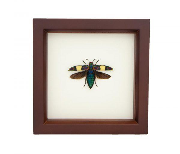 framed-Chrysochroa-fulgens jewel beetle