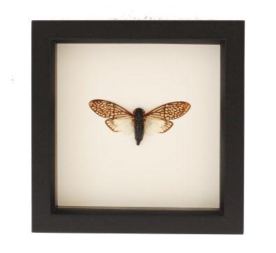 Framed Lace Cicada (Tailainga binghami)