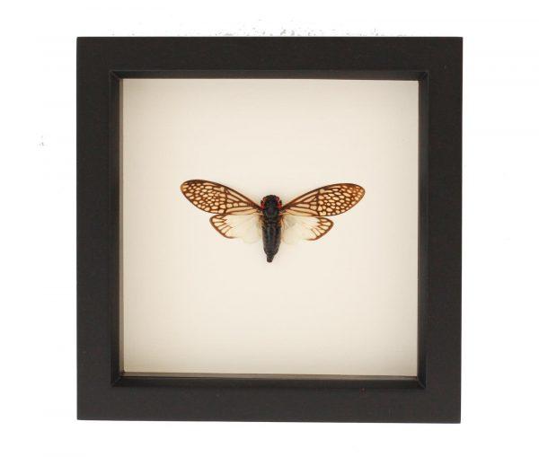 insect-cicada-tailainga-binghami