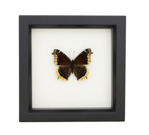 framed mourning cloak butterfly