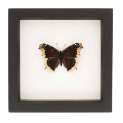 framed mourning cloak butterfly