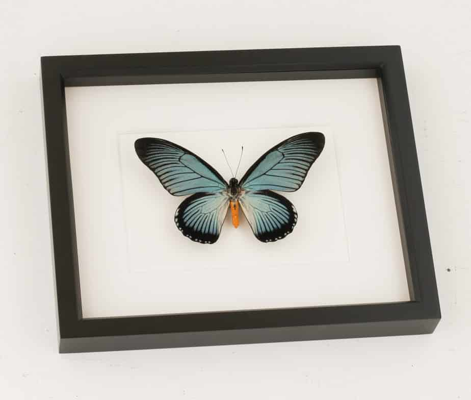 blue african swallowtail