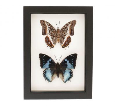 Charaxes Butterflies Collection