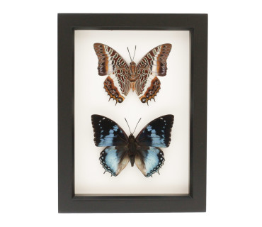 real butterflies in glass