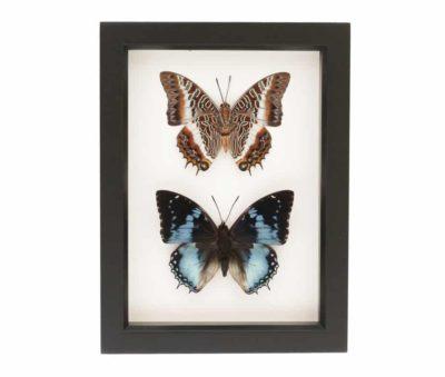 real butterflies in glass