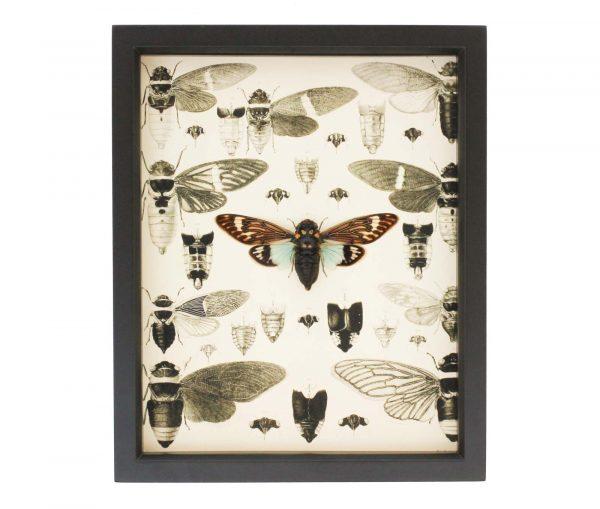 cicada natural history display