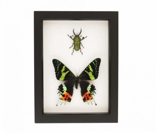 framed stag beetle and moth