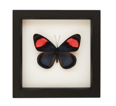 Framed Painted Beauty Butterfly (Batesia hypochlora)