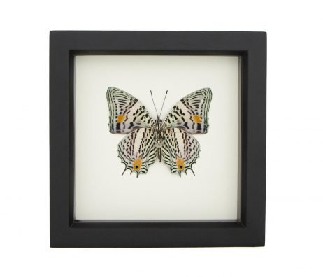 narrow lined butterfly